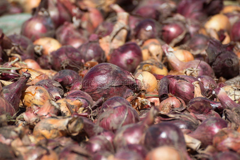Freshly dug out onions drying in sun. Freshly dug out onions drying in the sun stock photos