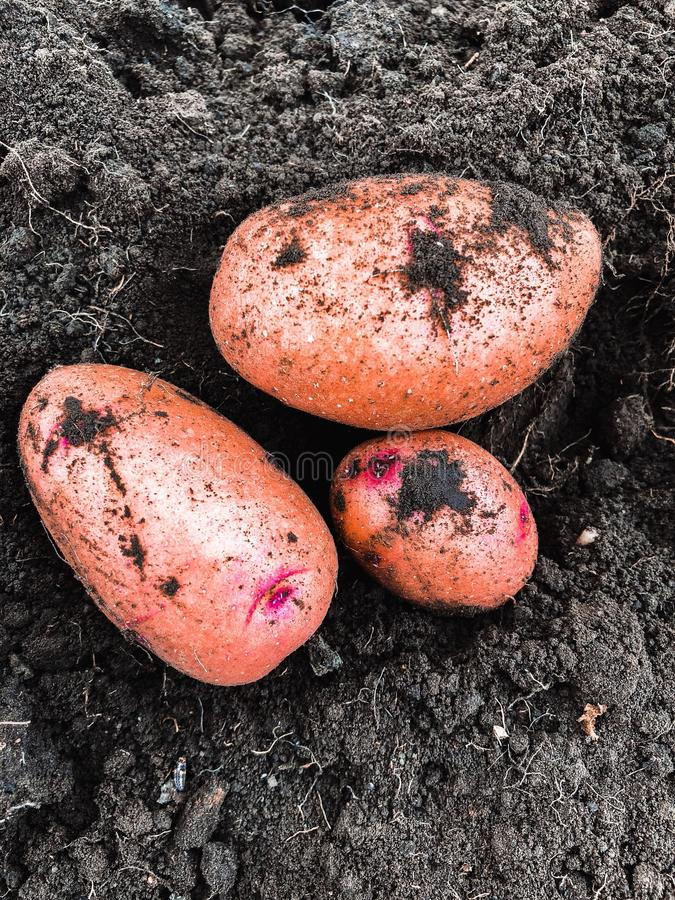 Freshly dug pink-skinned potatoes on the ground. stock photo