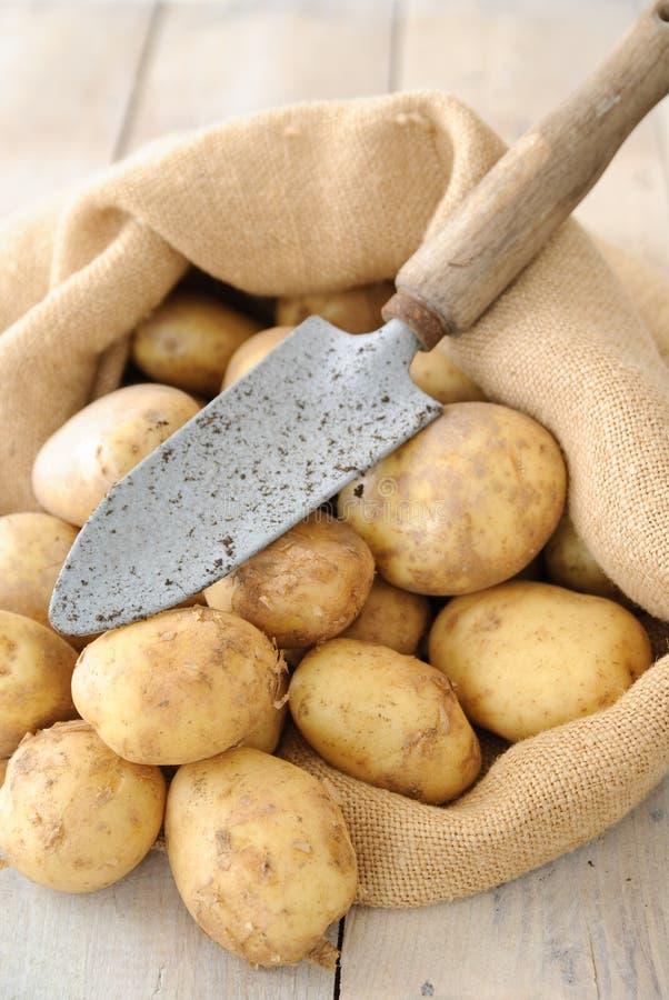 Freshly Dug Potatoes. Freshly dug new potatoes in hessian sack with trowel on rustic table stock images