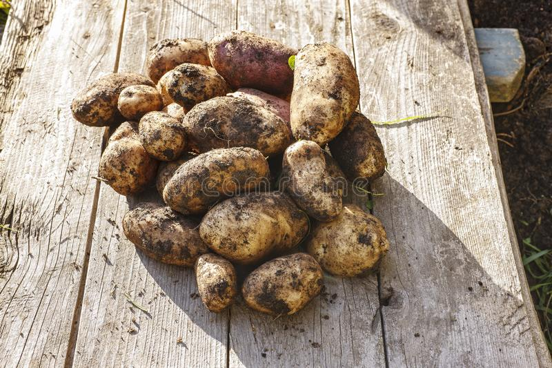 Freshly dug potatoes. Autumn, it`s time to dig up potatoes in the garden royalty free stock photo