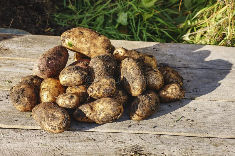 Freshly dug potatoes. Autumn, it`s time to dig up potatoes in the garden royalty free stock images