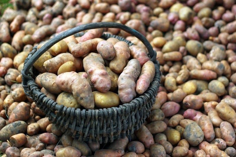 Freshly dug potatoes in a basket. A lot of freshly dug potatoes in a basket stock images