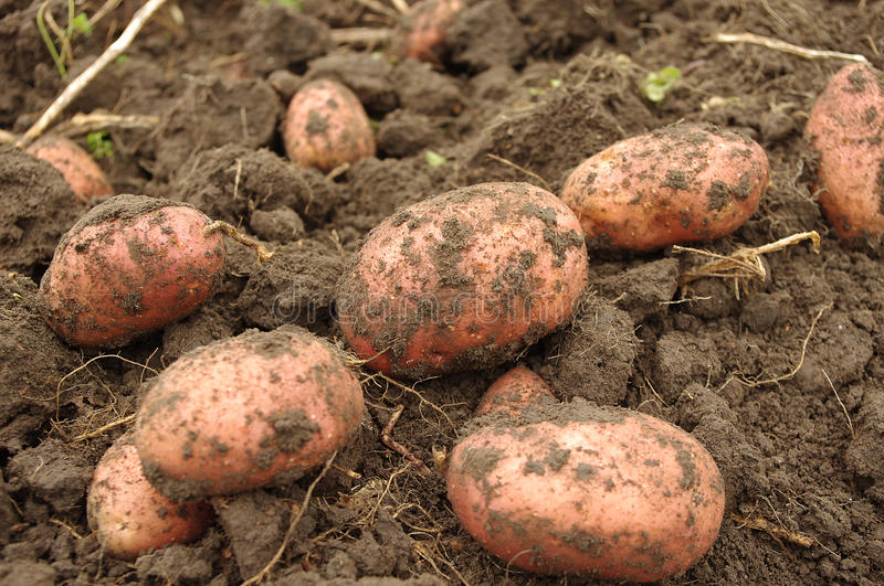 Freshly Dug Potatoes In Field Royalty Free Stock Images