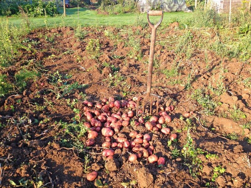 Freshly dug potatoes and fork. stock photography