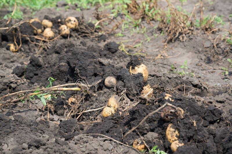 Freshly dug potatoes lies on bed. Freshly dug potatoes lies on a bed stock photo