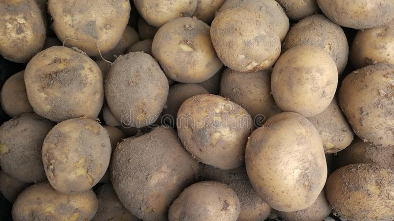 Freshly dug potatoes lying in a pile, the rural harvest stock photo