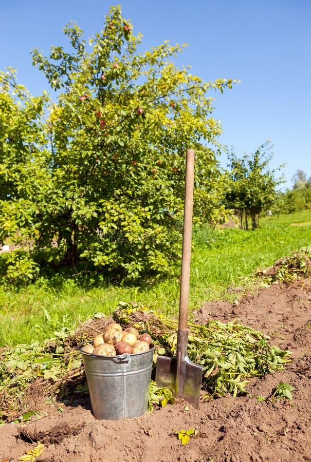Freshly dug potatoes in metal bucket and shovel stock photography