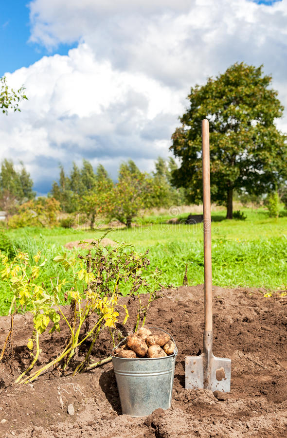 Freshly dug potatoes in metal bucket and shovel on the field royalty free stock image