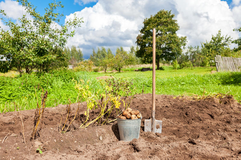 Freshly dug potatoes in metal bucket and shovel on the field stock photo
