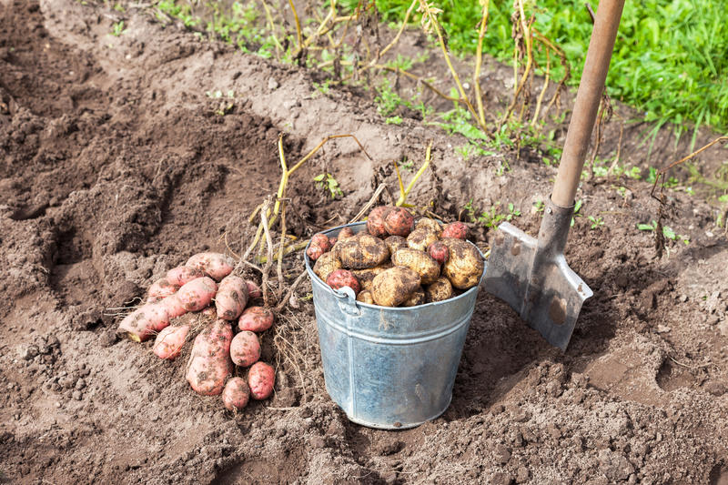 Freshly dug potatoes in metal bucket and shovel stock images