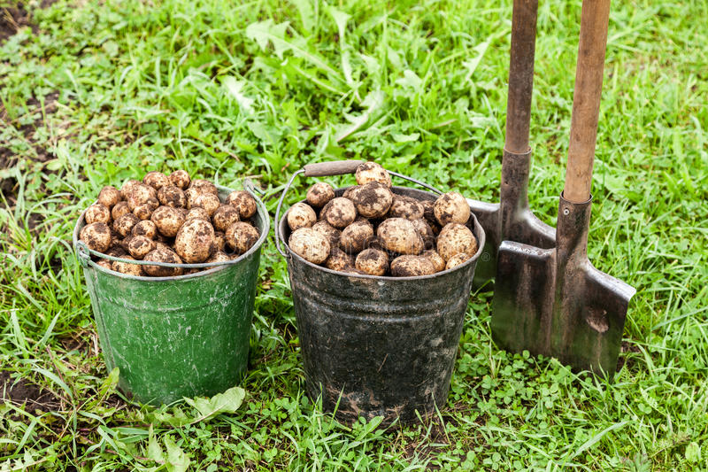 Freshly dug potatoes in metal bucket and shovel royalty free stock images