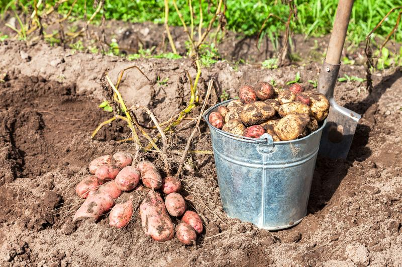Freshly dug potatoes in metal bucket and shovel. At the vegetable garden stock images