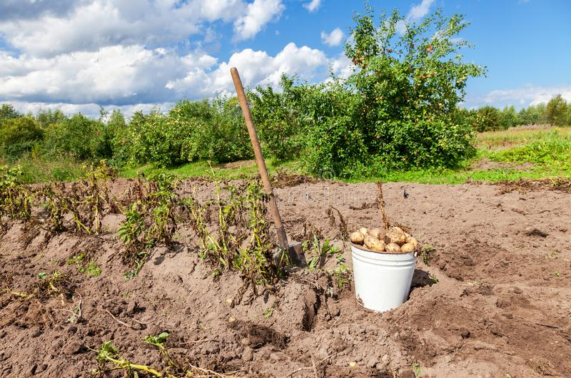 Freshly dug potatoes in metal bucket and shovel at the vegetable royalty free stock photo