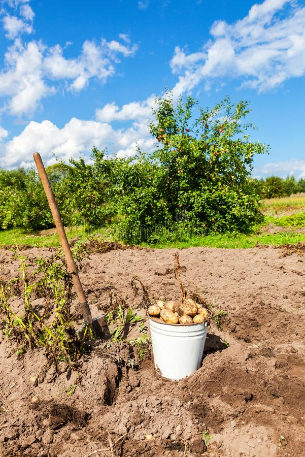 Freshly dug potatoes in metal bucket and shovel at the vegetable. Garden in sunny day royalty free stock photography