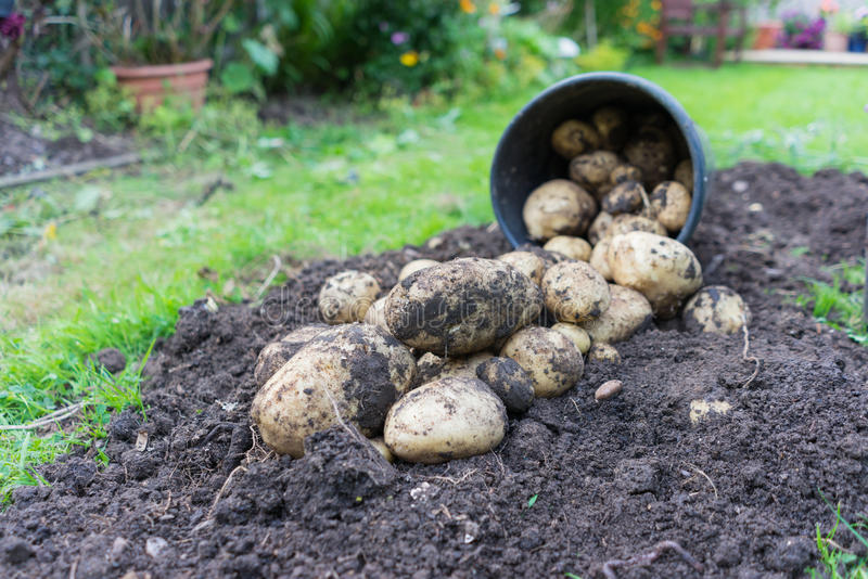 Freshly dug up potatoes royalty free stock image