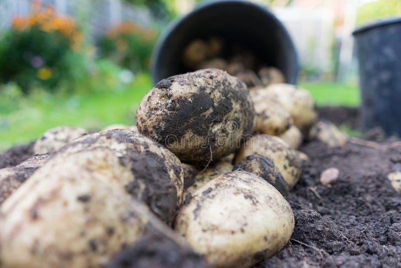 Freshly dug up potatoes stock photography