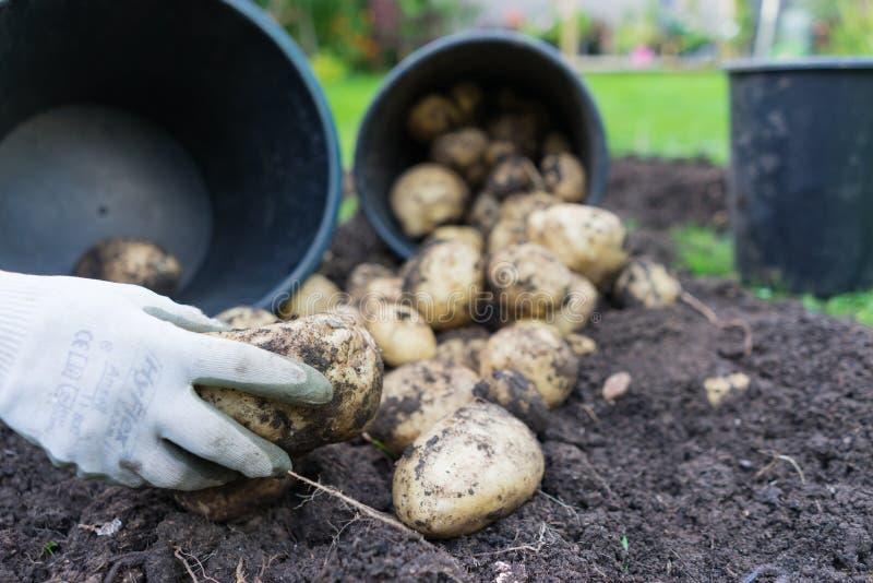 Freshly dug up potatoes royalty free stock photo