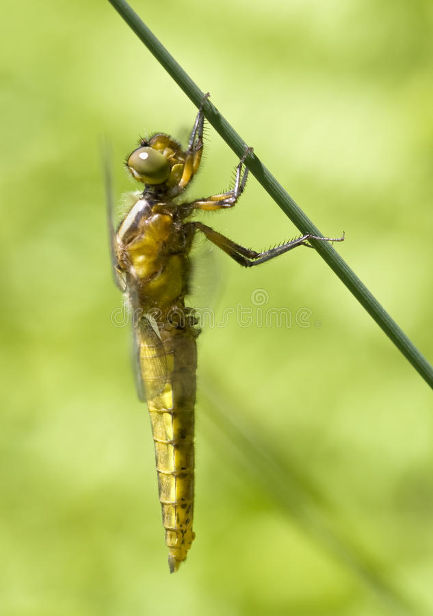 Freshly emerged broad bodied chaser royalty free stock photos