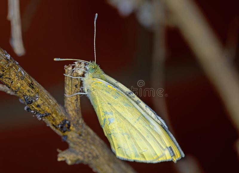 A freshly emerged Cabbage White Butterfly resting on a dry branch stock photography
