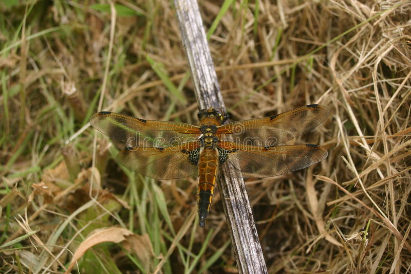 Four-spotted chaser dragonfly royalty free stock photo