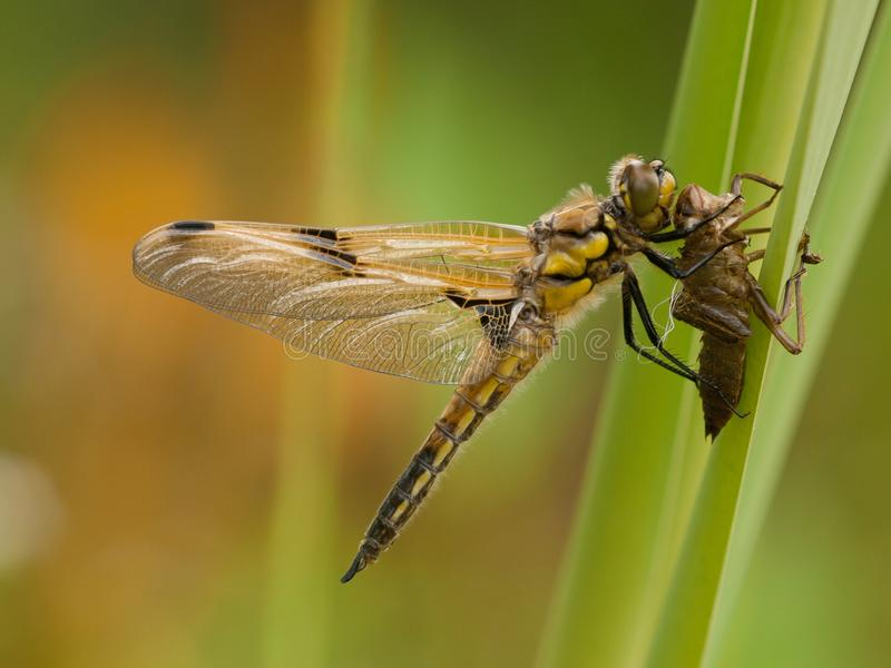 Freshly emerged four-spotted chaser Libellula quadrimaculata royalty free stock photos