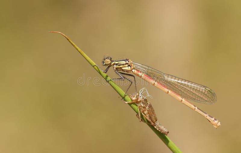 A freshly emerged immature Large Red Damselfly Pyrrhosoma nymphula perching on a reed with its exuvium. royalty free stock image