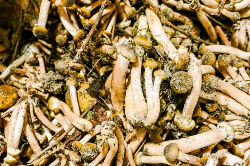 Freshly harvested Boletus mushroom background Edible mushrooms royalty free stock images