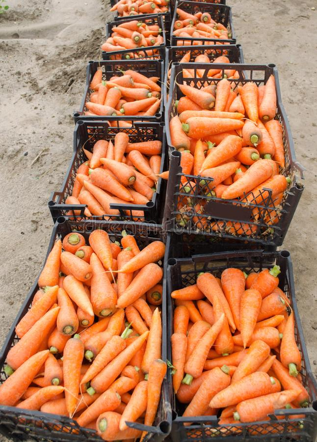 Freshly harvested carrots in boxes. Eco friendly vegetables ready for sale. Summer harvest. Harvesting. Agriculture. Farming. Agro royalty free stock photos