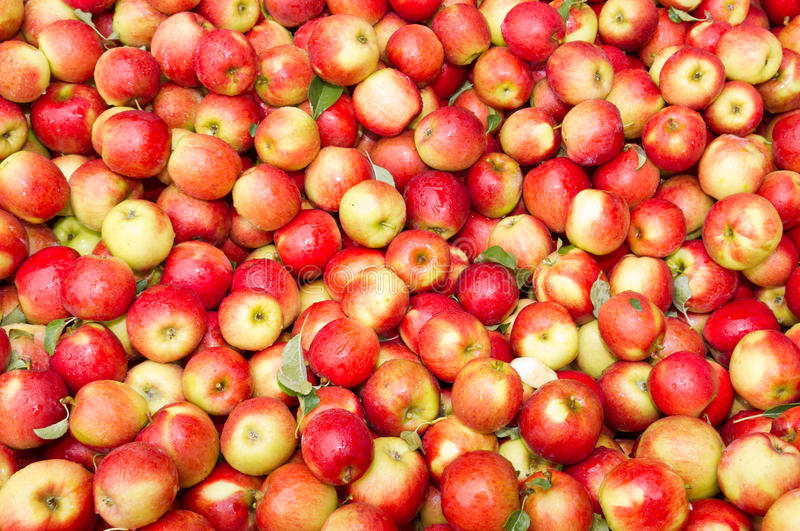 freshly harvested crimson crisp apples on display stock photo