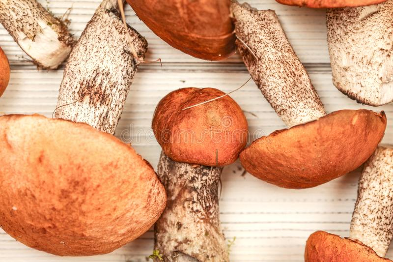 Freshly harvested forest mushrooms, red-capped scaber stalk variety Leccinum aurantiacum / albostipitatum, on white desks,. Detailed flat lay view royalty free stock photo