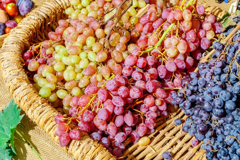 Freshly harvested grapes in the basket stock photography