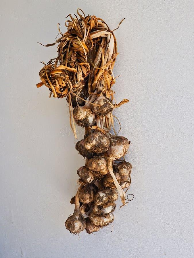 Home Grown Garlic Bulbs Hanging on White Wall royalty free stock image