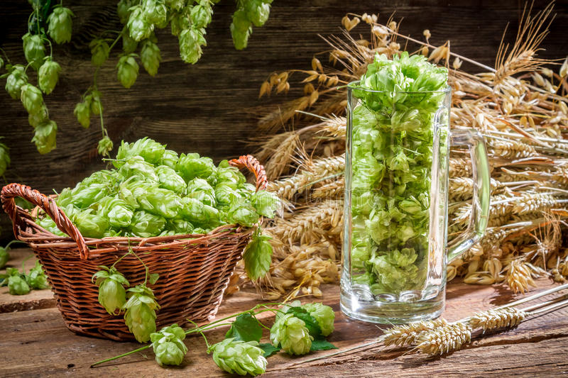 Freshly harvested hops as an ingredient for beer stock photos