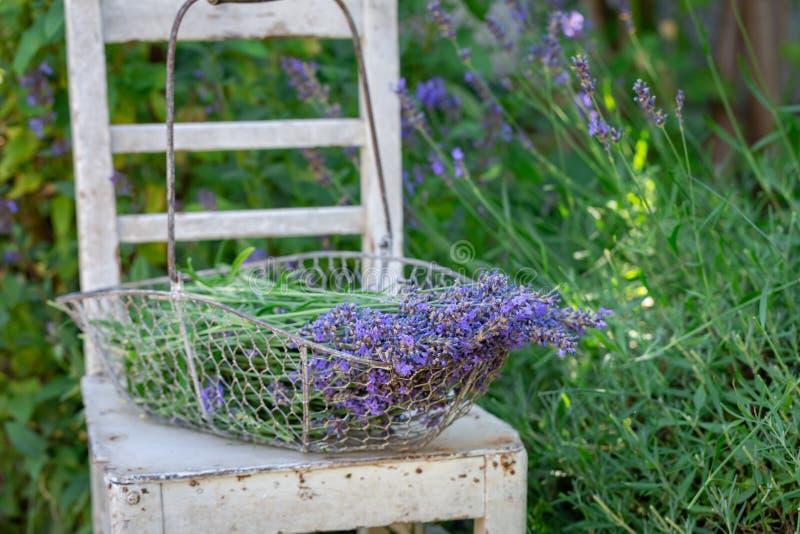 Freshly harvested lavender on white chair in garden stock photo