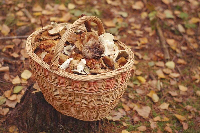 Freshly harvested mushrooms in the forest stock photos