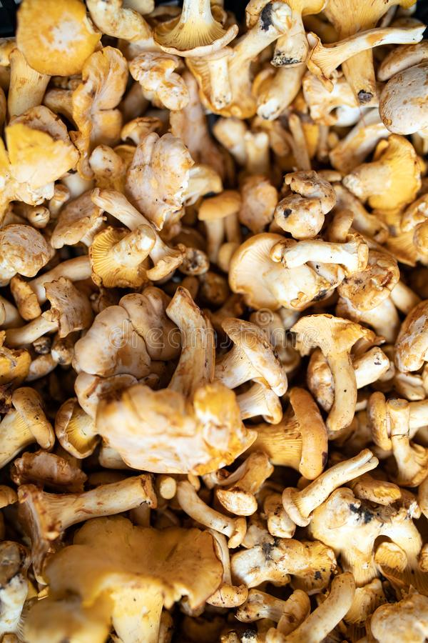 Freshly harvested organic mushrooms background. Edible mushrooms stock image