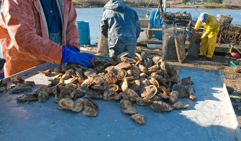 Download Freshly harvested oysters stock photo. Image of maine - 27930054