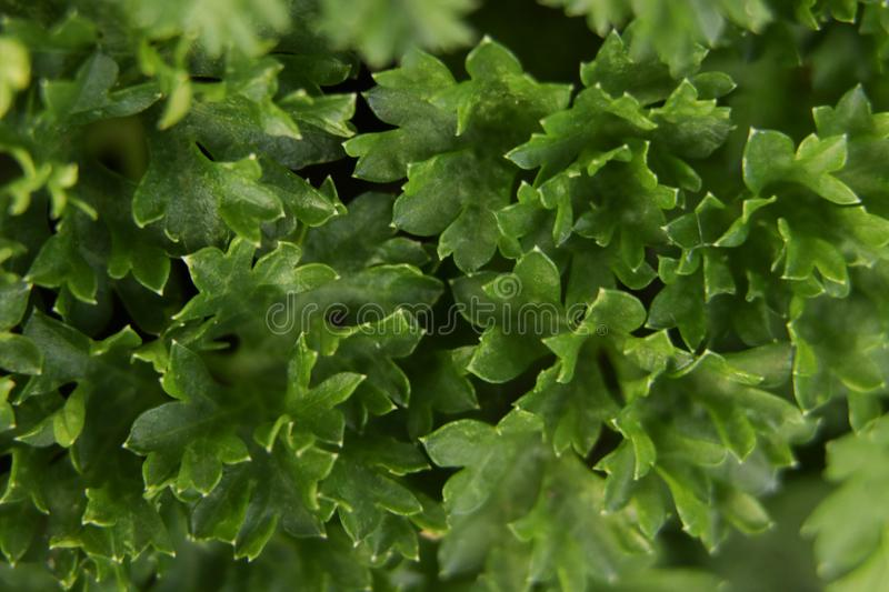 Freshly harvested parsley for the kitchen royalty free stock photo