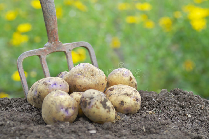 Freshly harvested potatoes with garden folk. Pile of freshly harvested organic potatoes on an allotment stock photography