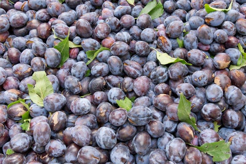 Download Freshly Harvested Prune Plums On Display Stock Image - Image of juicy, nutrition: 21717463