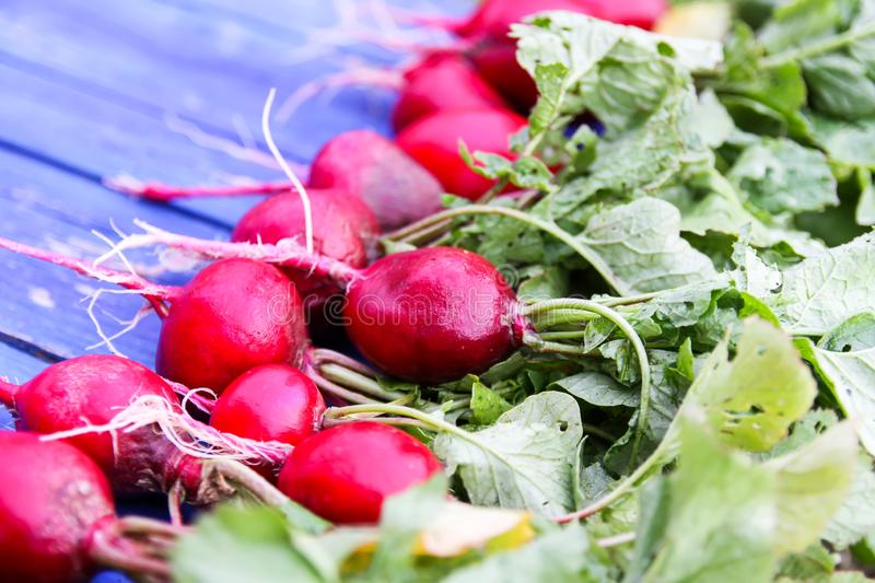 Freshly harvested radishes. Red fresh vegetables ion blue aged wooden background royalty free stock photos