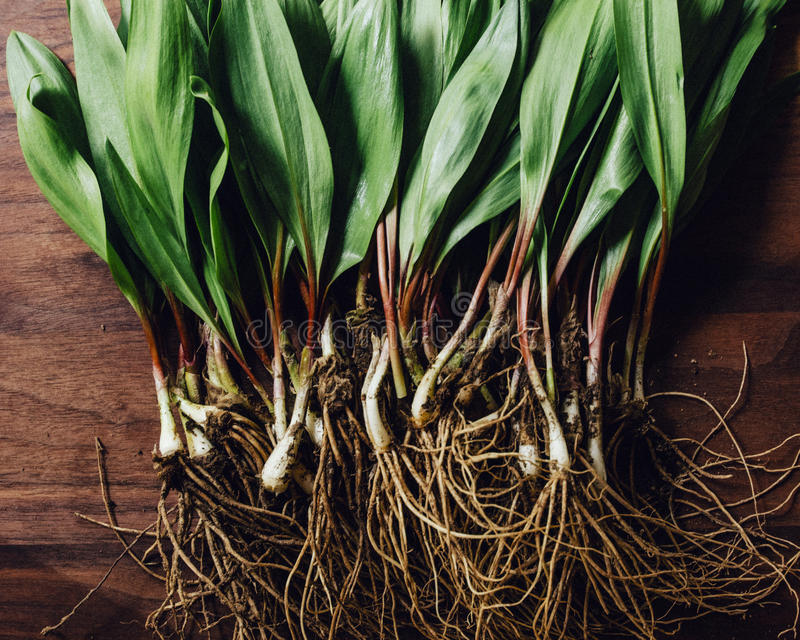 Freshly Harvested Ramps Wild Leaks on a wood cutting board. royalty free stock photos