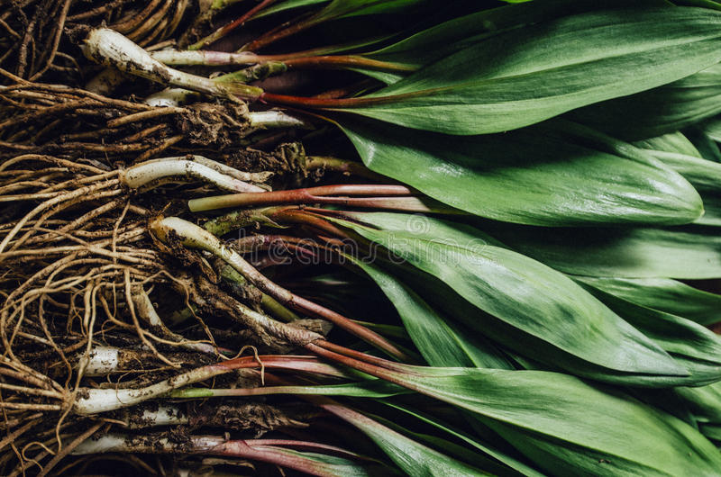 Freshly Harvested Ramps Wild Leaks on a wood cutting board. Freshly Harvested Ramps aka Wild Leaks on a wood cutting board royalty free stock photos