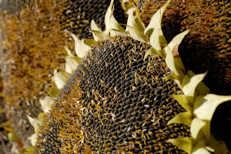 Freshly harvested sunflower with ripened seeds closeup. Shallow depth of field royalty free stock images