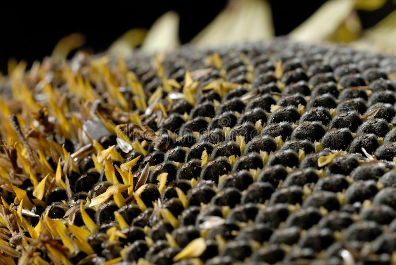 Freshly harvested sunflower seeds closeup. Shallow depth of field stock photos