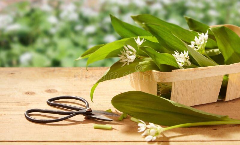 Freshly harvested wild garlic on a garden table stock image