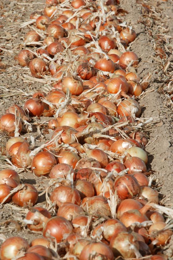 Freshly harvested yellow onions drying in the field royalty free stock image