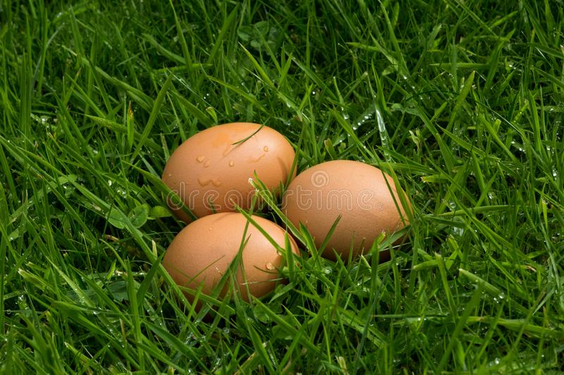 Freshly Laid Eggs in Long Grass. Clutch of fresh eggs in long grass stock photo
