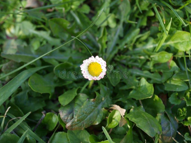Freshly opened new daisy royalty free stock photo