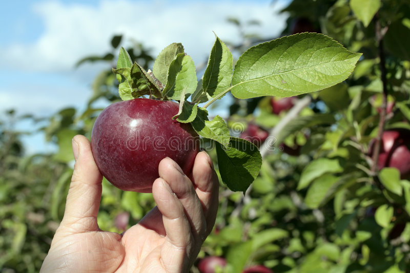 Freshly picked apple. In an orchard stock photography